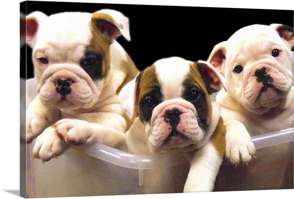 English bulldog puppies inside a clear bin