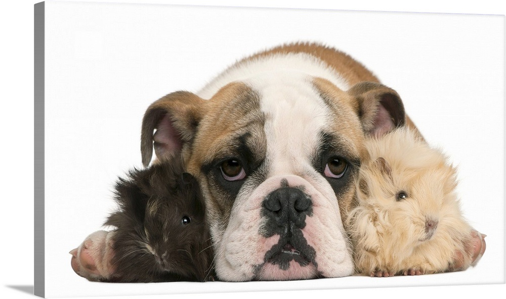 English bulldog puppy (4 months old) and two Young Peruvian guinea pigs