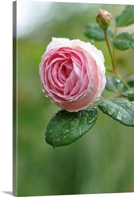 English Rose 'Geoff Hamilton'.