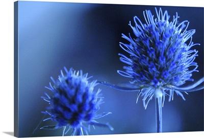 Eryngo - sea holly flower.