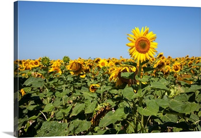 Extremely tall sunflower in field of sunflowers.