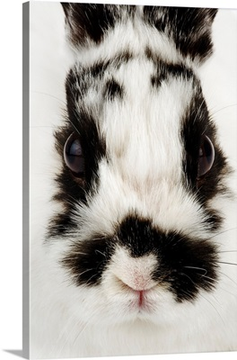 Face Of Jersey Woolly Rabbit
