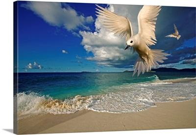 Fairy Tern At Cousine Island Beach