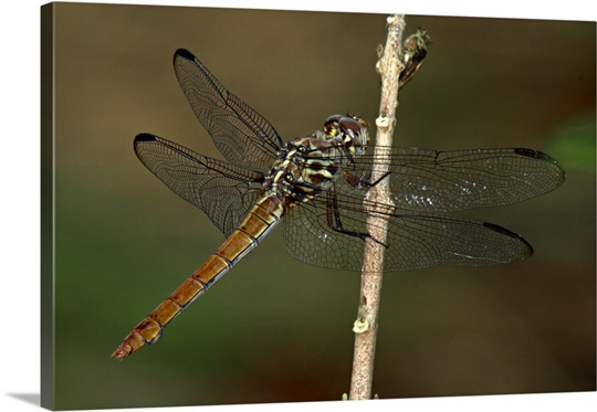 Female Roseate Skimmer Dragonfly Green Cay Florida Canvas