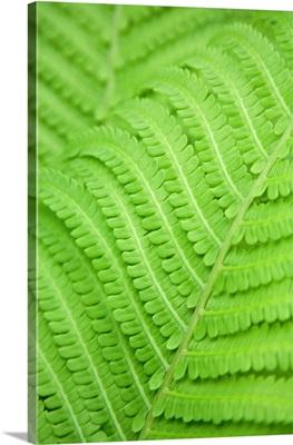 Fern Leaf, Close Up, Full Frame