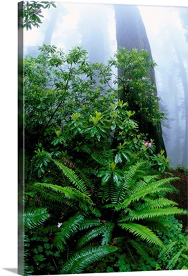 Ferns And Rhododendrons Among Redwoods