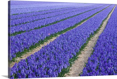 Field Of Blue Hyacinths In Bloom In The Netherlands