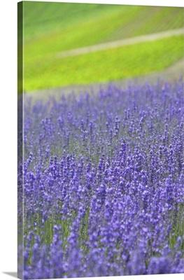 Field of blue salvia, Biei town, Hokkaido prefecture, Japan