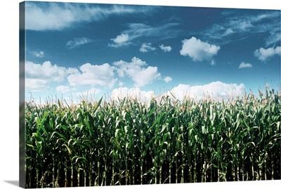 Field Of Corn Plants