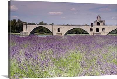 Field of lavender, St. Benezet's Bridge, Rhone River, Avignon, France