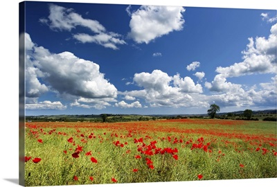 Field of red poppies, Corbridge, Northumberland.
