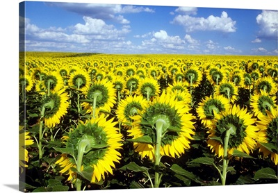 Field of sunflowers and blue sky in Kansas.