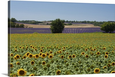 Field of sunflowers in Valensol.