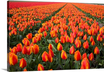 Field Of Variegated Tulips Near Keukenhof Gardens In The Netherlands