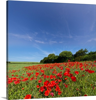 Field of wild poppies at Arreton on Isle of Wight.