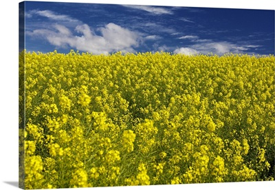 Field of yellow flowers to blue horizon, South Africa.