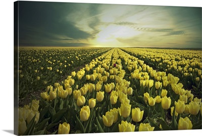 Field of yellow tulips in Holland.