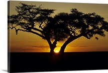 Fig tree silhouetted at African dawn, Kenya, Africa