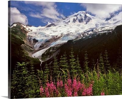 Fireweed flowers below Mt. Baker