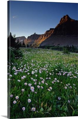 Fleabane in alpine meadow at Logan Pass, Glacier National Park, Montana