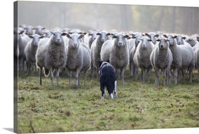 Flock of sheep facing a border collie