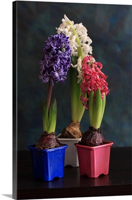 Floral arrangement consists of hyacinths planted in pots
