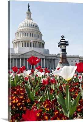 Flower bed with tulips in front of the US Capitol Building.