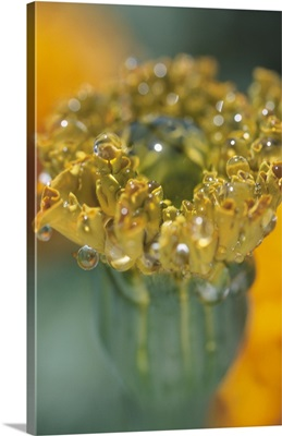 Flower bud with dew