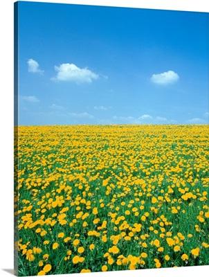 Flower Meadow With Blooming Dandelion