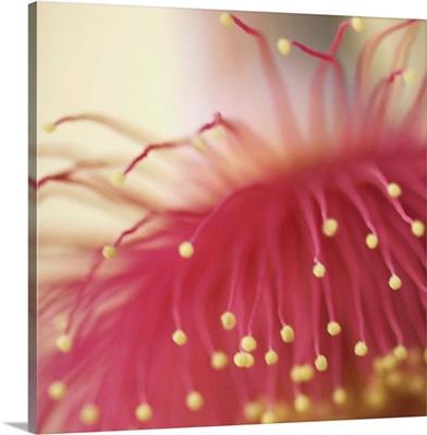 Flowering gumnut in golden light.
