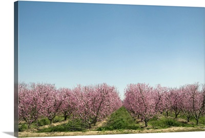 Flowering peach trees in orchard