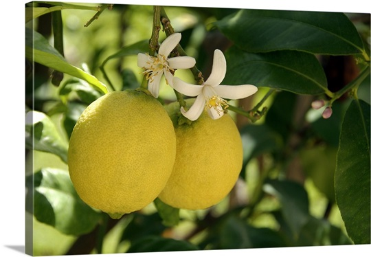 flowers and fruit on lemon tree citrus limon wall art