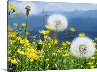 Flowers blossoming on a meadow with range blue Alpine mountains in back.