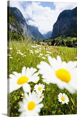 Flowers in a meadow, Lauterbrunnen, Switzerland