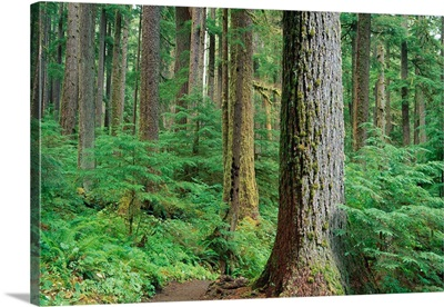 Forest Of Old Growth Douglas Firs