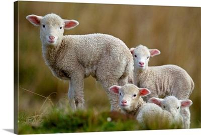 Four little lambs.