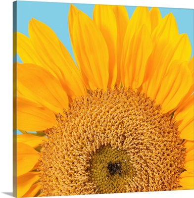 Fragment of a single sunflower head (Helianthus sp.) isolated on blue background.