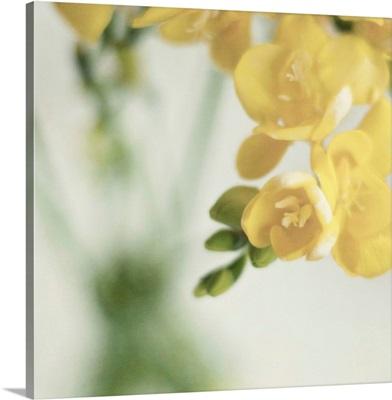 Fragrant Freesia flowers in  vase.