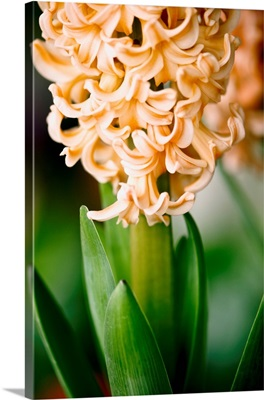 Fragrant Hyacinth
