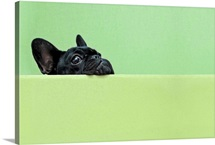 8ca49039cc658 French Bulldog Wall Art   Canvas Prints