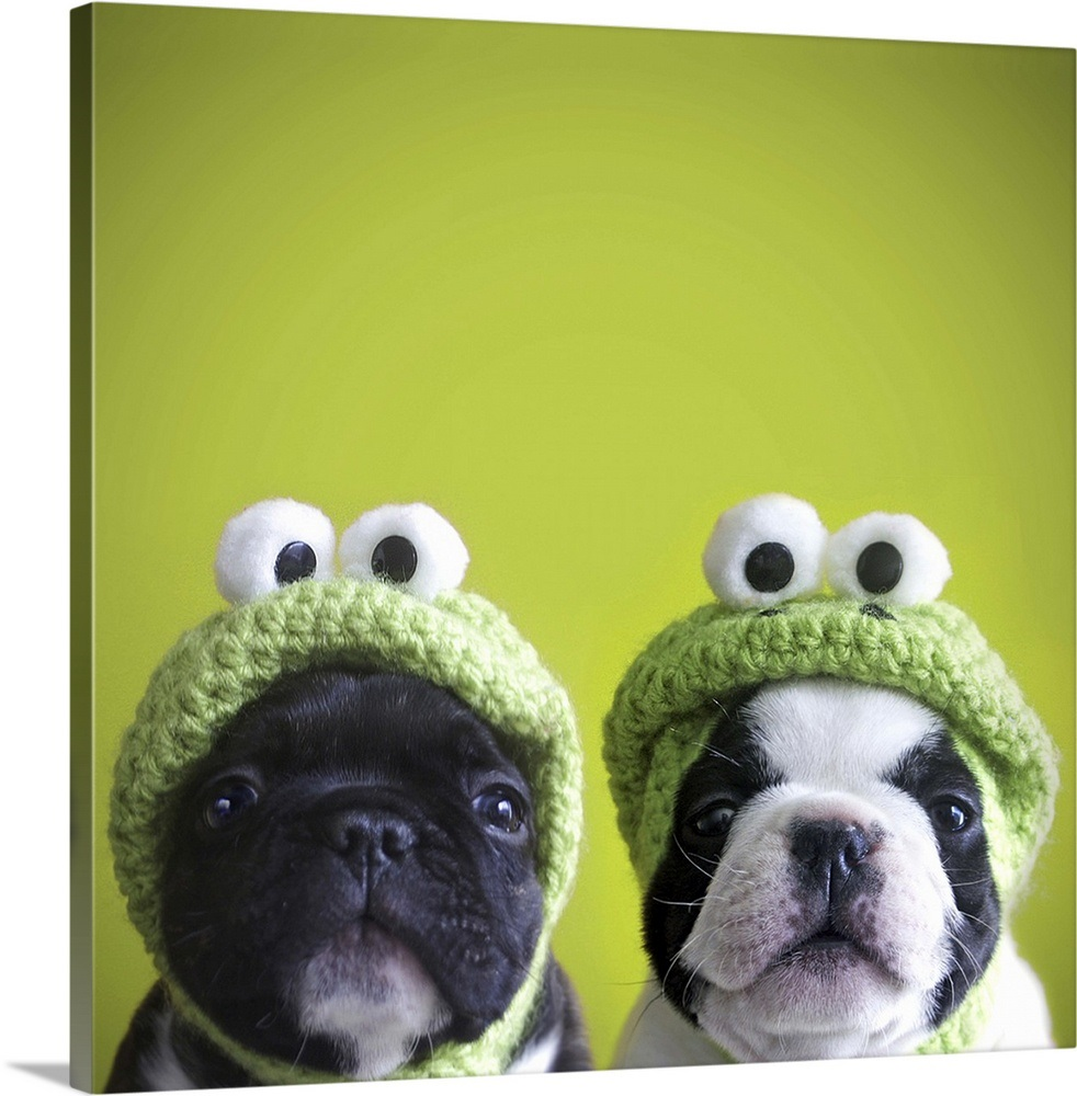3b8bc50bb4347 French bulldogs wearing frog hats Wall Art