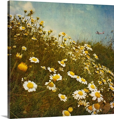Fresh spring daisies on sand dunes in the Mediterranean.