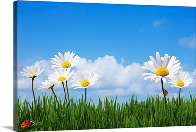 Fresh spring daisies sitting in grass