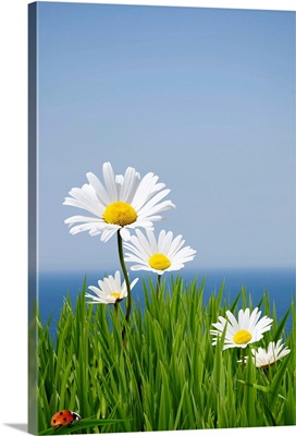Fresh spring daisies sitting on a cliff edge