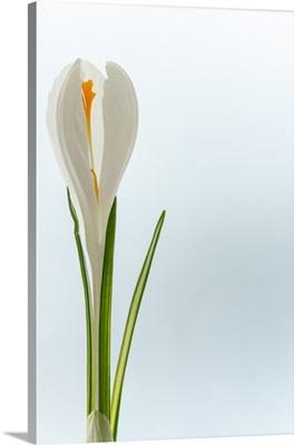 Fresh white crocus bloomed against clear sky.