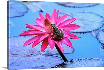 Frog On Water Lily In Pond