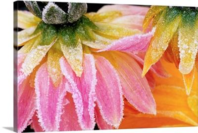 Frost On Dahlia Petals
