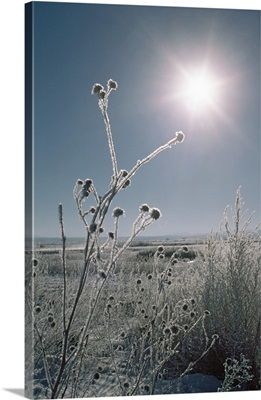Frosted Sunflower Stalks