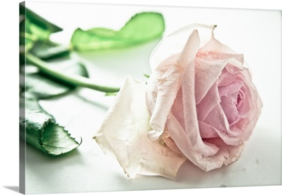 Frozen pink rose on white background.