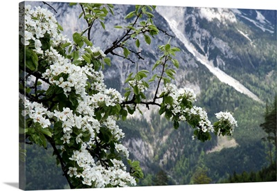 Fruit trees blooming in the Alps.